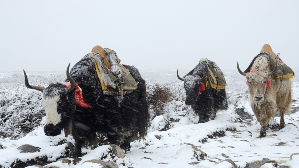 Why the Yak